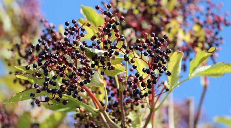 elderberry cold cure