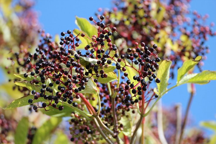 elderberry cold cure