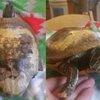 Frozen Turtle