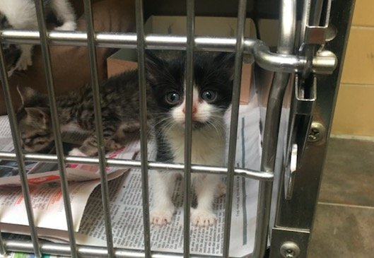 rescue kittens harrowgate spca