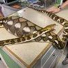 Lancaster County python