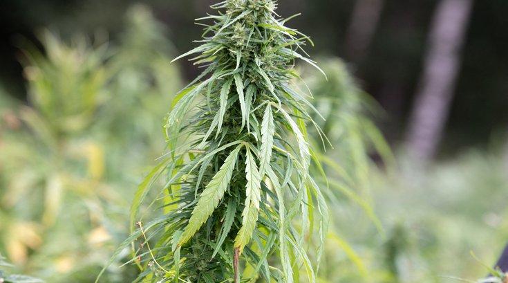 marijuana question new jersey