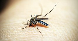 Mosquito West Nile Virus