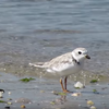 Piping plover bird