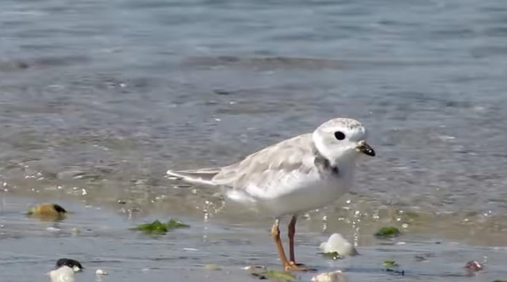 Piping plover bird