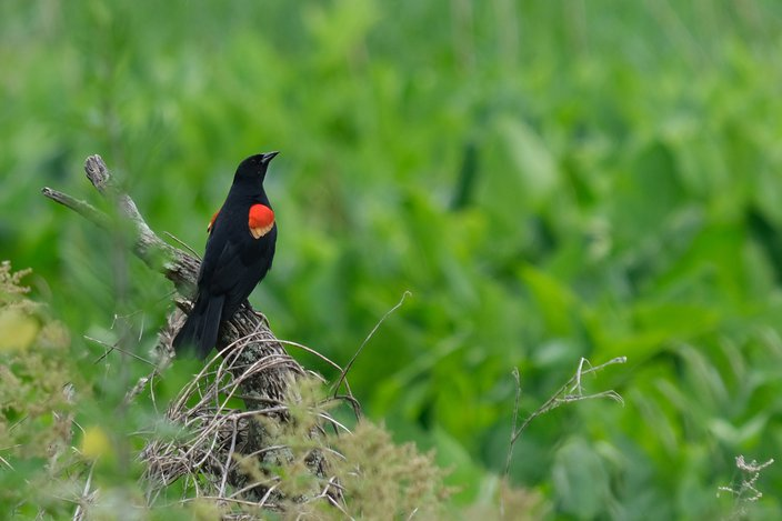 Limited - Red winged blackbird by Marci Green