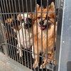 rescue puppies harrowgate pspca