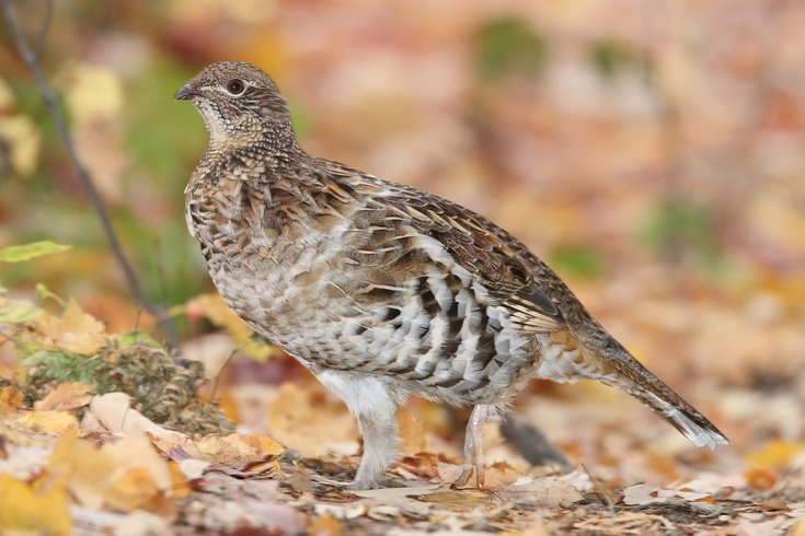 Ruffed grouse climate change