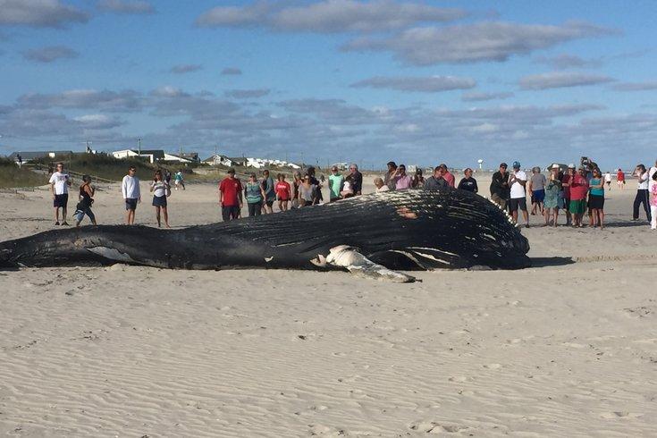 sea isle beached whale 3