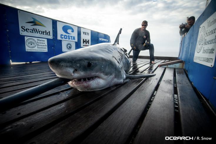 Great White Shark Jersey Shore