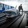 Shark ocean city cape may