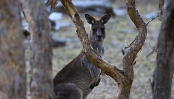 Kangaroo SIPA