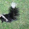 Maple Shade skunk