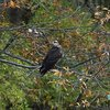 Snail Kite bird Pennsylvania
