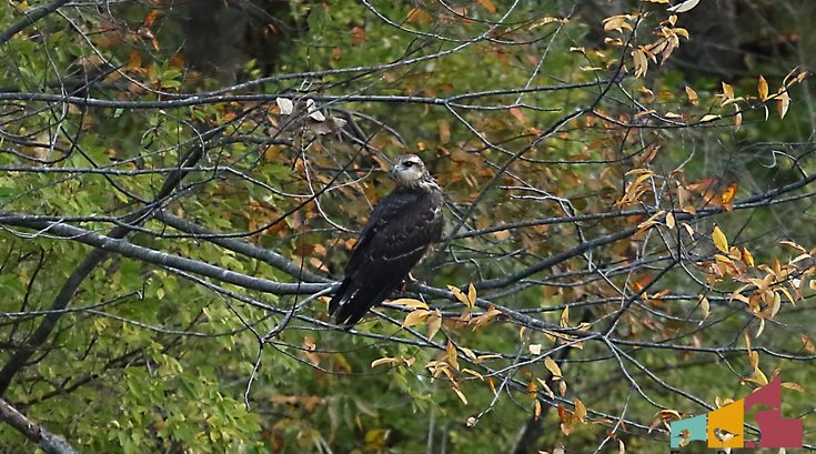 Snail Kite bird Pennsylvania