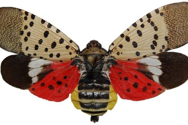 spotted lanternfly increase 2020