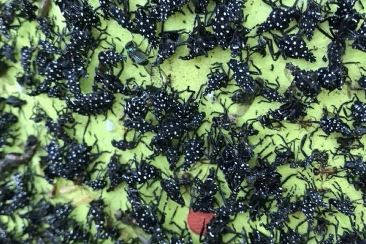 Spotted lanternfly has made its way to Pa , and neighbors