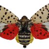 spotted lanternfly philly