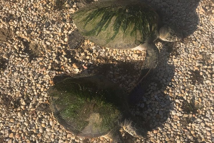 stranded sea turtles new jersey 2019