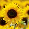 sunflower festival at Hellerick's Family Farm in Doylestown