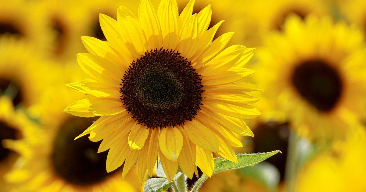 Sunflower festival at Hellerick's Family Farm in ...